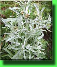 Сушеница топяная - описание лекарственного растения